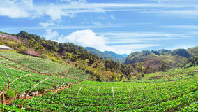 Truskawka ogród przy Doi Ang Khang, Chiang Mai, Tajlandia Zdjęcia Stock