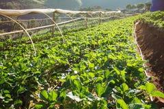 Truskawka ogród przy Doi Ang Khang, Chiang Mai, Tajlandia Fotografia Stock