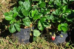 Truskawka w truskawka ogródzie Fotografia Stock