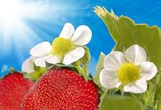 Truskawka w ogródzie na niebieskiego nieba tle zdjęcia stock