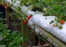 Truskawka w truskawka ogródzie Fotografia Royalty Free
