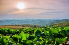 Truskawka widok górski na wschodzie słońca przy Północnym Tajlandia i gospodarstwo rolne Zdjęcie Stock