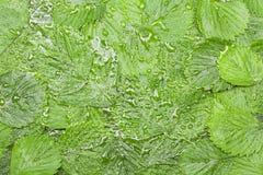 Truskawka zieleni liść Obraz Stock