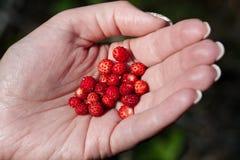truskawki dzikie Zdjęcie Royalty Free