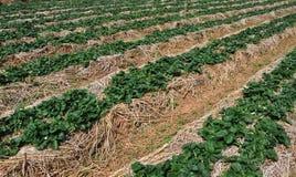 Truskawki gospodarstwo rolne zdjęcia stock