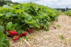 Truskawki gospodarstwo rolne Zdjęcie Royalty Free