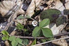 Truskawki kwitną, wiosna, natura Kaukaz Zdjęcie Royalty Free