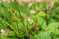 Truskawki opancerzenie Fragà ¡ ria - genus odwiecznie zielne rośliny Różowa rodzina Obrazy Stock