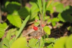 Truskawki opancerzenie Fragà ¡ ria - genus odwiecznie zielne rośliny Różowa rodzina Fotografia Stock