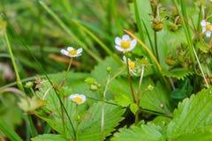 Truskawki opancerzenie Fragà ¡ ria - genus odwiecznie zielne rośliny Różowa rodzina Zdjęcie Stock