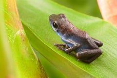 Truskawkowa jad strzałki żaba Zdjęcia Royalty Free
