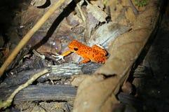 Truskawkowa jad strzałki żaba Obrazy Stock