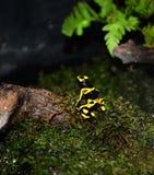 Truskawkowa jad strzałki żaba Fotografia Royalty Free