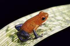 Truskawkowa jad strzałki żaba Obrazy Royalty Free