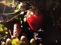 Truskawkowa kolor czerwień Fotografia Royalty Free