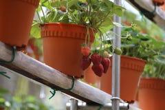 Truskawkowa owoc 1 Obraz Stock
