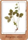 Truskawkowa roślina odizolowywająca Zdjęcia Stock