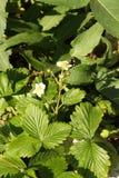 Truskawkowa roślina w rockery z liśćmi otacza je obraz stock