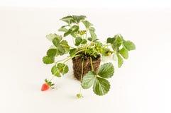 Truskawkowa roślina z korzeniami i ziemią Obraz Royalty Free