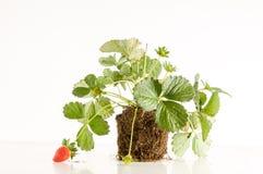 Truskawkowa roślina z korzeniami i ziemią Zdjęcia Stock