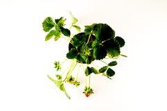 Truskawkowa roślina z korzeniami i ziemią Fotografia Stock