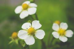 Truskawkowa roślina z małymi białymi kwiatami, Fragaria, zakończenie w górę zdjęcie royalty free
