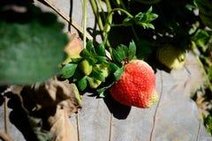 Truskawkowa roślina fotografia royalty free