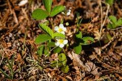 Truskawkowa roślina zdjęcia royalty free