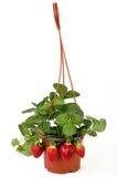 Truskawkowa roślina Zdjęcia Stock