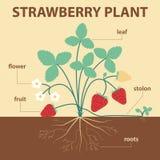 Truskawkowa roślina Obraz Royalty Free