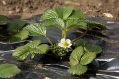 Truskawkowa roślina w kwiacie Zdjęcia Royalty Free