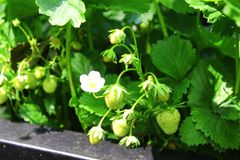 Truskawkowa roślina Zdjęcie Royalty Free