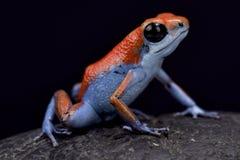 Truskawkowa strzałki żaba, Oophaga pumilio Zdjęcie Stock