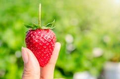 Truskawkowe jagody świeże Fotografia Royalty Free