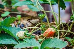 Truskawkowe jagody w ogródzie Fotografia Royalty Free