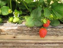 Truskawkowe owoc Zdjęcie Royalty Free