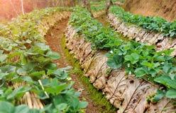 Truskawkowe owoc w agricuture rośliny gospodarstwie rolnym obrazy royalty free