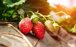 Truskawkowe owoc w agricuture rośliny gospodarstwie rolnym fotografia stock