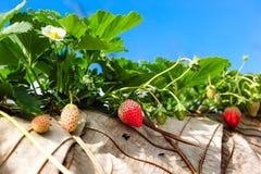 Truskawkowe owoc w agricuture rośliny gospodarstwie rolnym zdjęcia royalty free