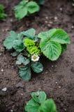Truskawkowe rośliny Obraz Stock