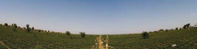Truskawkowe rośliny Zdjęcie Stock