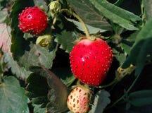 Truskawkowe rośliny Obrazy Royalty Free
