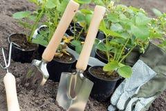 Truskawkowe rośliny Fotografia Stock