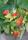 Truskawkowe rośliny, balkonu ogród Zdjęcia Royalty Free