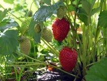 Truskawkowego czerwonego jagodowej owoc rośliny jedzenia gospodarstwa rolnego lata jagod rolnictwa liści makro- śródpolnego organ Obraz Royalty Free