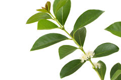 Truskawkowego guava kwiat w bielu Obraz Stock