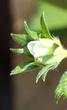 Truskawkowej rośliny Pojedynczy kwiat Obrazy Royalty Free