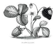 Truskawkowej rośliny rocznika botaniczna ilustracja Zdjęcie Stock
