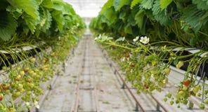 Truskawkowi biegacze w długich rzędach w horticulture firmie Zdjęcia Royalty Free