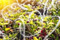 Truskawkowi krzaki z jagodami w górę, zdjęcie stock